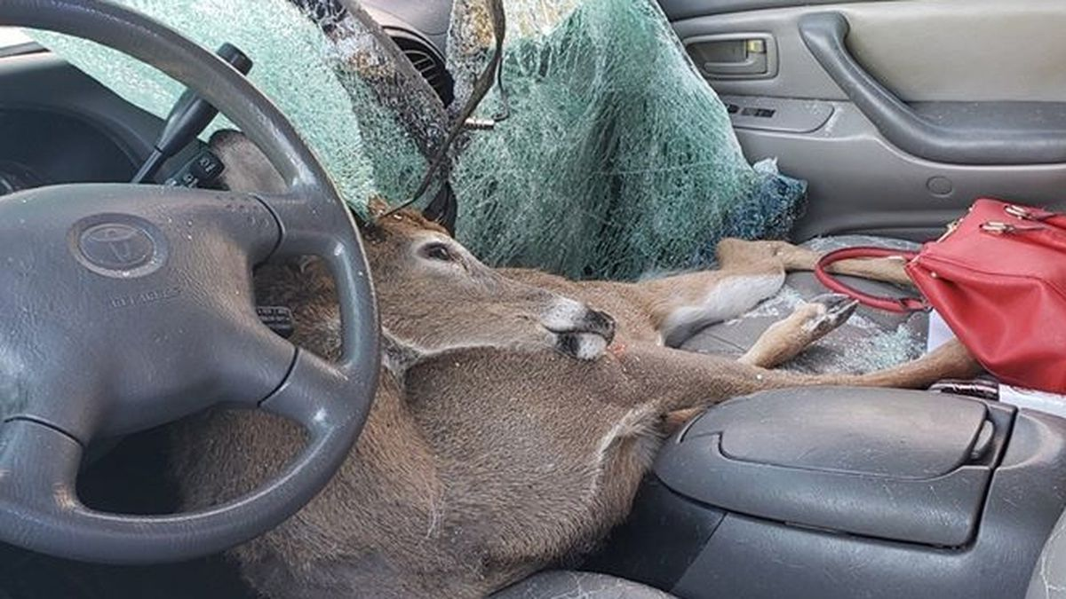 Deer crashes through car windshield, lands in seat
