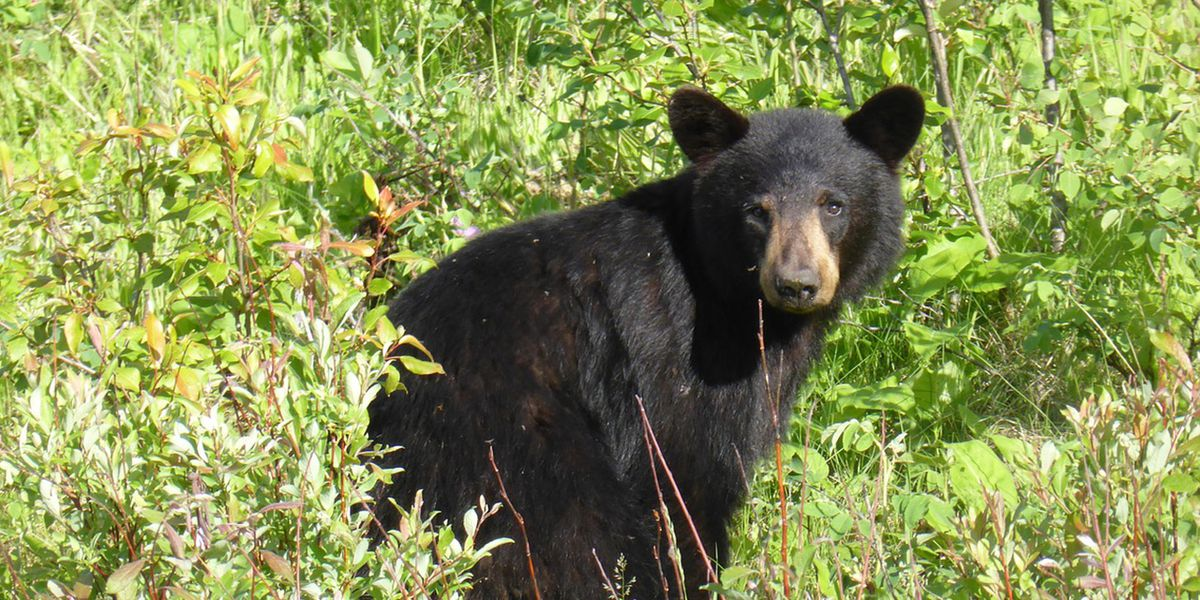 SEE: Fearless dog barrels straight into black bear, chasing it from neighbor's yard