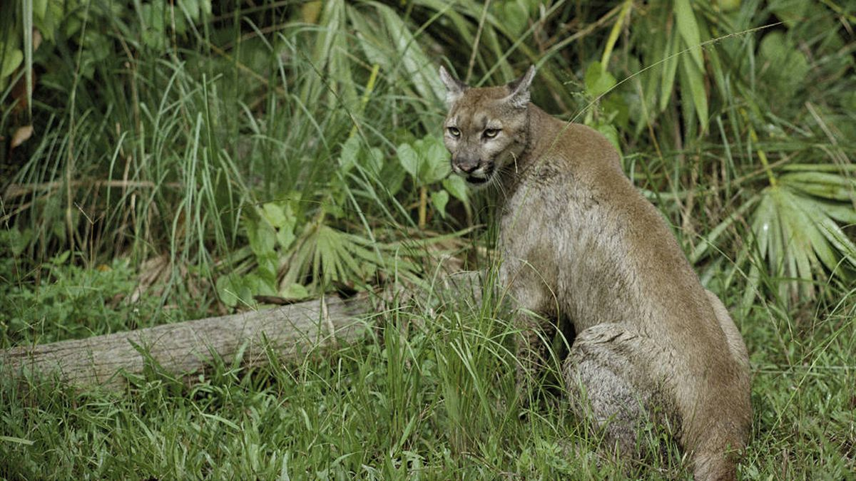 Endangered Florida panther fatally struck by car