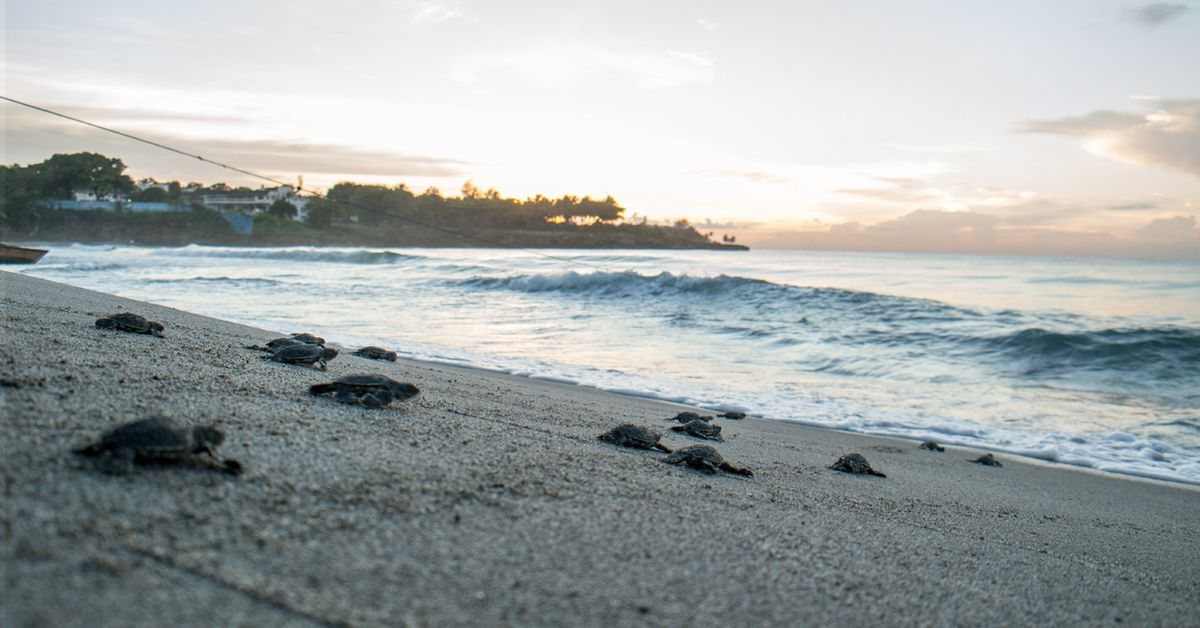 More than 100 baby sea turtles found dead...