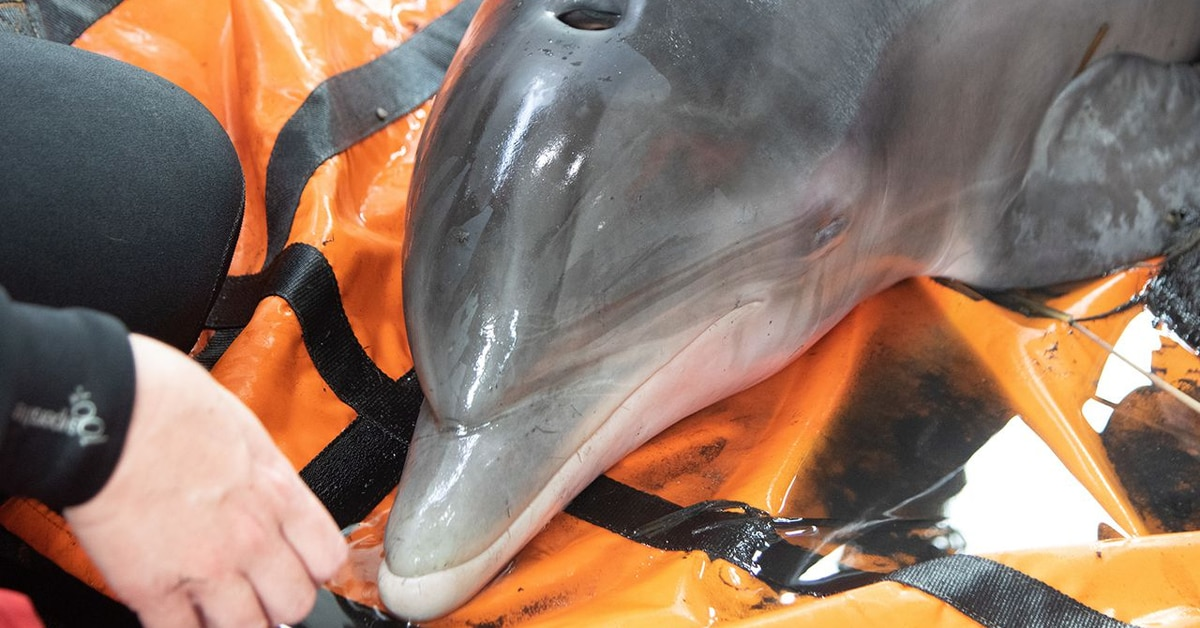 Dolphin rescued after stranded 9 miles inland due to Hurricane Laura