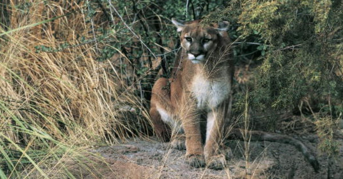 Mountain lion spotted in Dallas suburb